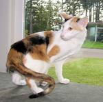 Кот породы Ориентал Биколор во дворе