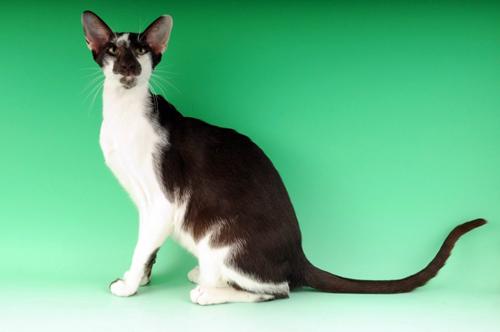 Ориентальная двуцветная кошка фото