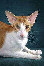 Портрет кота породы Ориентал Биколор