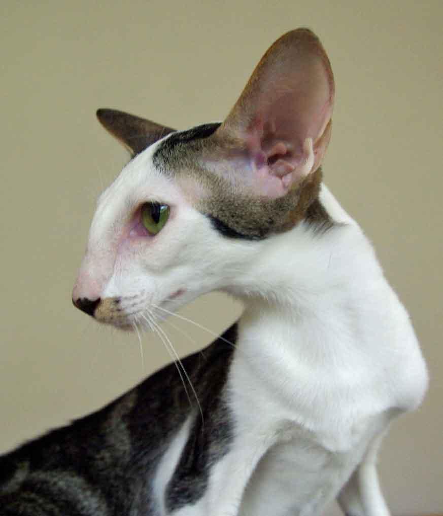 Cornish Rex Cat Rescue Florida