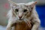 Морда кота породы Ориентал длинношерстный