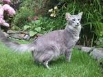 Ориентал длинношерстный кот в саду