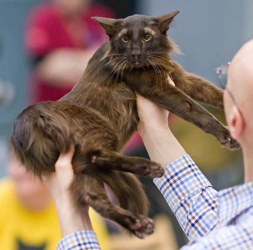 Ориентальная длинношерстная кошка фото
