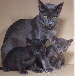 Мама и дети породы Ориентал короткошерстный