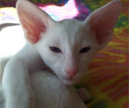 Ориентальная короткошерстная кошка  фото