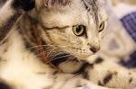 Задумчивая Американская короткошерстная кошка