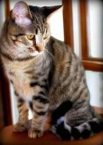 Задумчивая Калифорнийская сияющая кошка