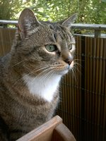 Задумчивая Европейская короткошерстная кошка