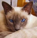 Задумчивый Сиамский кот