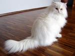 Персидский кот на полу