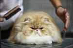 Уход за волосами Персидского кота