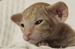 Котенок породы Петерболд