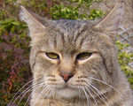 Морда кота породы Пиксибоб