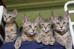 Коты породы Пиксибоб
