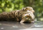 Игривая Бенгальская кошка