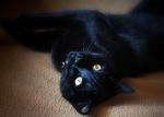 Игривая Бомбейская кошка