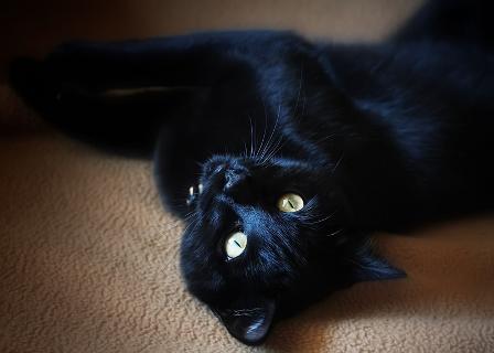 Канадский сфинкс: фото кошки, цена, описание породы