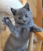 Игривый котенок Шартреза