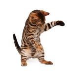 Котенок Бенгальской кошки играет