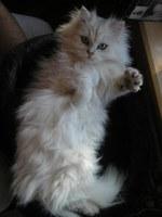 Котенок Британской длинношерстной кошки играет