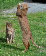 Кошки породы Оцикот играют