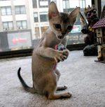 Котенок породы Сингапура играет