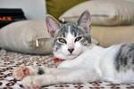 Довольный Эгейский кот