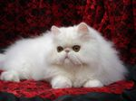Шикарная Персидская кошка