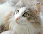 Морда кота породы Рагамаффин