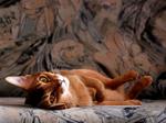 Абиссинская кошка отдыхает