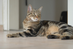 Европейская короткошерстная кошка отдыхает