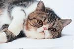 Экзотическая короткошерстная кошка отдыхает