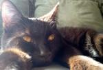 Кот породы Гавана отдыхает