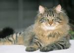Норвежская лесная кошка отдыхает