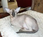 Кот породы Петерболд отдыхает