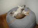 Котята породы Сингапура отдыхают