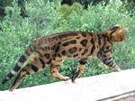 Бенгальская кошка бежит