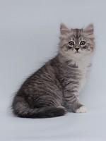 Котенок Русской черной, белой и табби