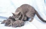 Семья Русской голубой кошки