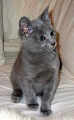 Котенок Русской голубой кошки на кровати