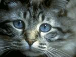Грустный кот породы Охос Азулес