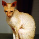 Грустный кот породы Корниш-рекс