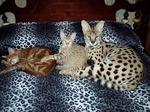Коты породы Саванна