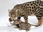 Мать и ее детеныш породы Саванна