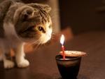 Скоттиш-фолд и свеча