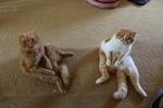 Коты породы Скоттиш-фолд