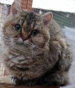 Морда кота породы Селкирк рекс