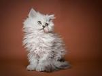 Портрет котенка породы Селкирк рекс