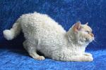 Портрет кота породы Селкирк рекс
