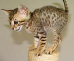 Котенок кошки Серенгети